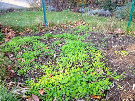 clover in early november
